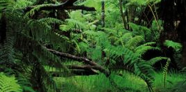 Tree ferns grow naturally in Hawaii's forests.