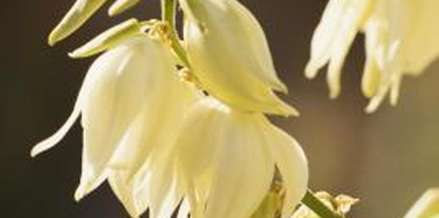 Yucca flowers are white, pendulous and fragrant.