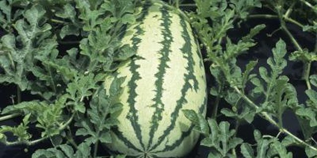 How to Grow Watermelons in Tires