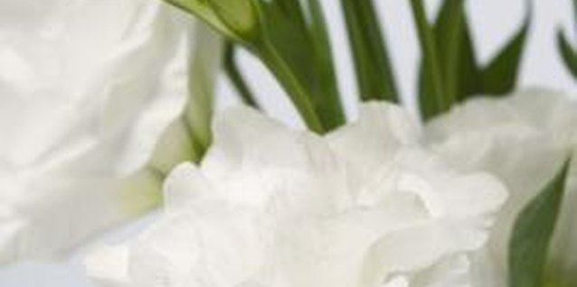 Wild lisianthus produces flowers in shades of white and purple.
