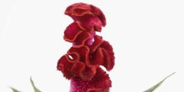The common name cockscomb comes from the shape of the crested form of celosia.