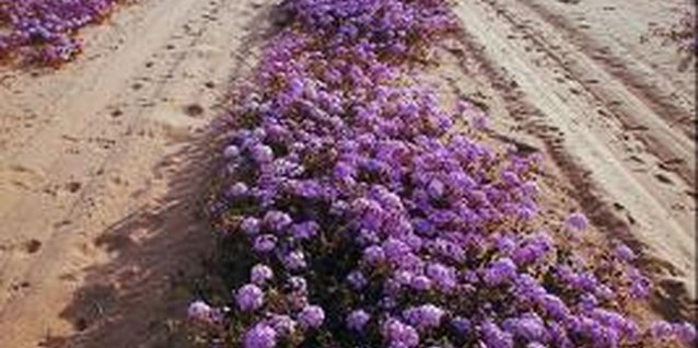 Purple is a common color among different types, species and varieties of verbena.