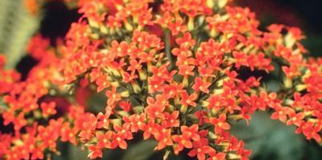 Kalanchoe blooms range in colors of pink, white, yellow, orange or red.