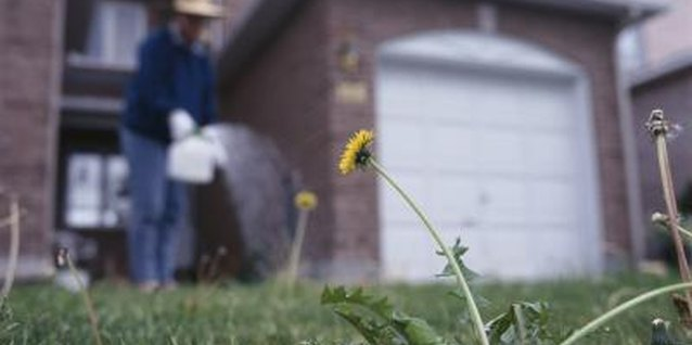 Dandelions grow in most lawns but are controllable with home remedies.