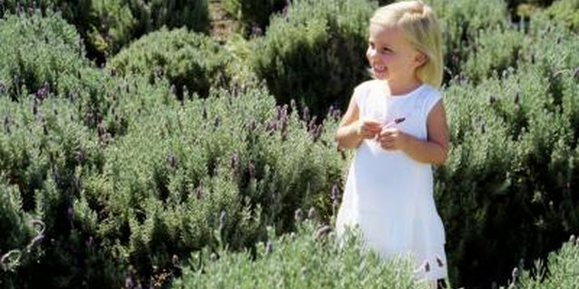 The scent of lavender helps children to relax and go to sleep.