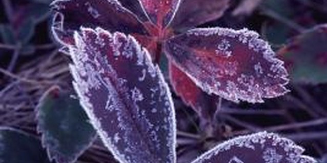 Frost destroys plant cells and causes tender plants to wilt and die.