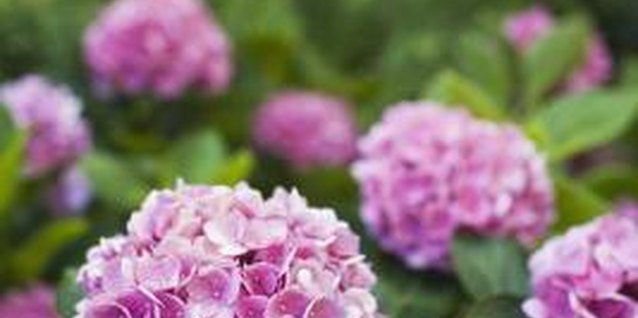 Can You Cut Back an Endless Summer Hydrangea?