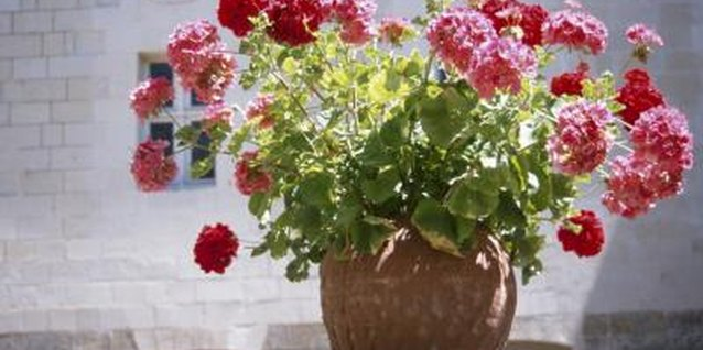 Combine geraniums with other plants for interest.