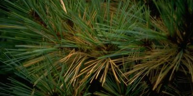 How to Tell if Your Pine Tree Is Overwatered