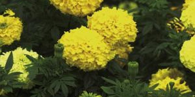 African marigolds can reach the size of a small bush with proper care.