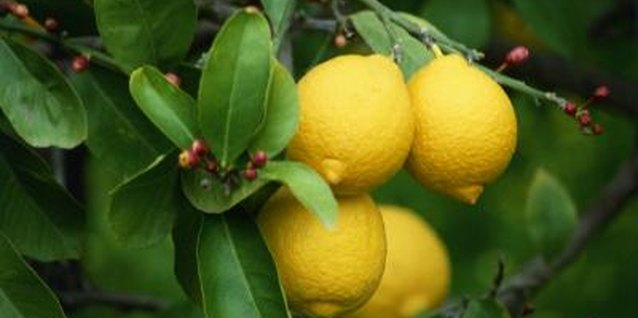 Lemons add visual interest to your backyard thanks to glossy foliage and bright fruit.