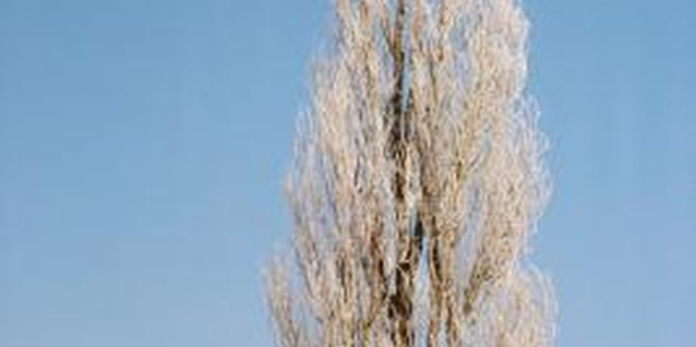 The Lombardy poplar has a taller, more columnar form than the true species.