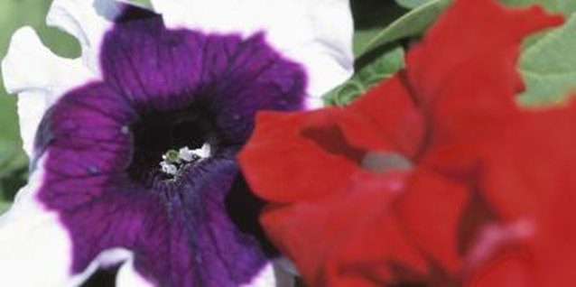 How to Landscape With Petunias