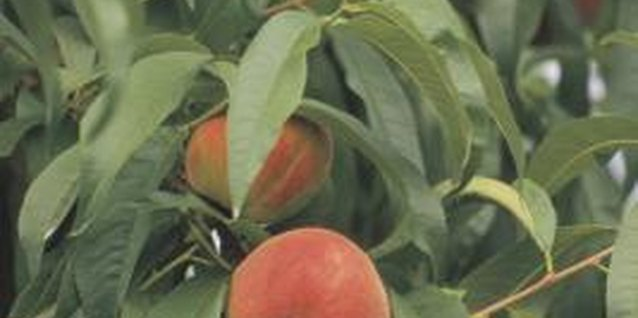 Peaches have specific temperature requirements for successful fruit production.