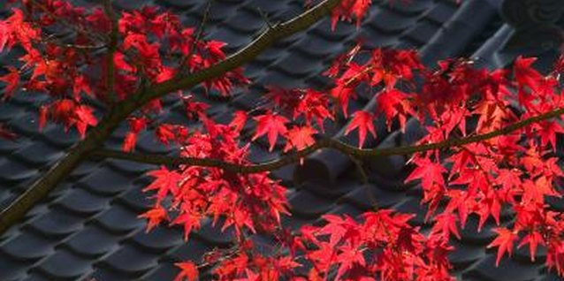 The leaves of the lace leaf maple can be red or green.