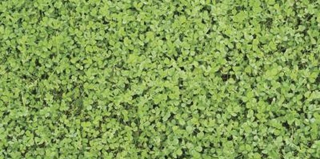 Clover is one of the most common weeds in lawns in North America.