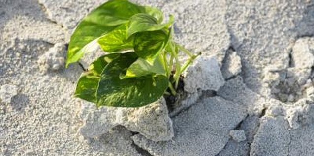 Dry soil may cause problems for golden pothos.