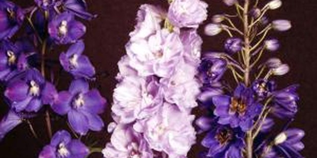 Do Delphiniums Grow Well in North Carolina?
