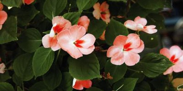 Periodically trimming impatiens results in more flowers.