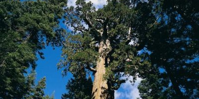 The giant sequoia, while beautiful, is not very tolerant.