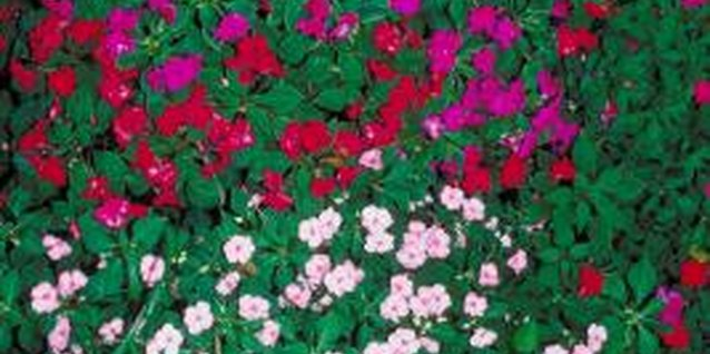 Impatiens should provide a carpet of colorful flowers.