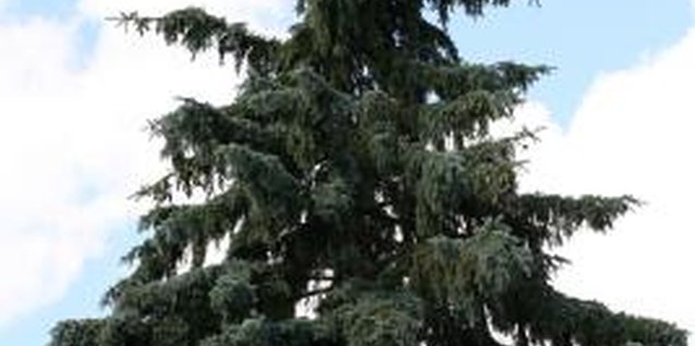 Serbian spruce is elegant planted in groups or as a single specimen.