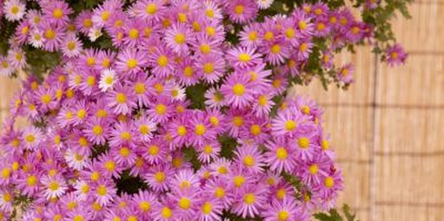 Fall blooming asters are only one of the many daisy-type flowers that bloom in the fall.