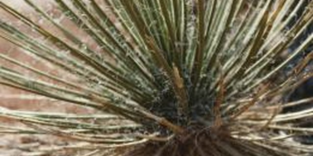 How to Transplant Adam's Needle Yucca