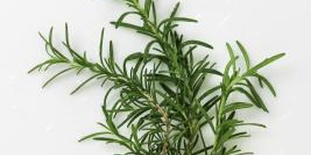 Creating new rosemary plants from cuttings can take a little patience.