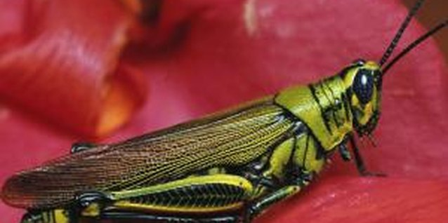 Grasshoppers eat many parts of plants, including flowers and leaves.