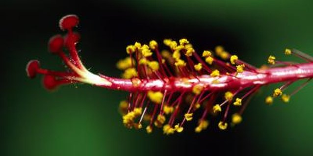 Swamp hibiscus blooms bear a style, or female reproductive structure, similar to other hibiscus.
