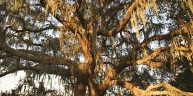 Live oak trees thrive in full sun to partial shade.