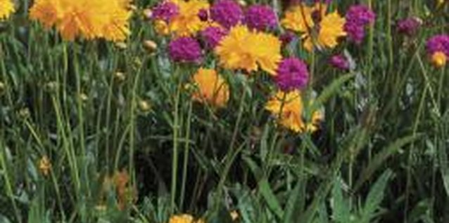 Golden coreopsis plants bloom longer if old flowers are consistently removed.