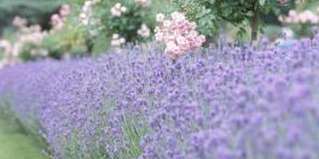 Lavender blossoms are edible and highly aromatic.