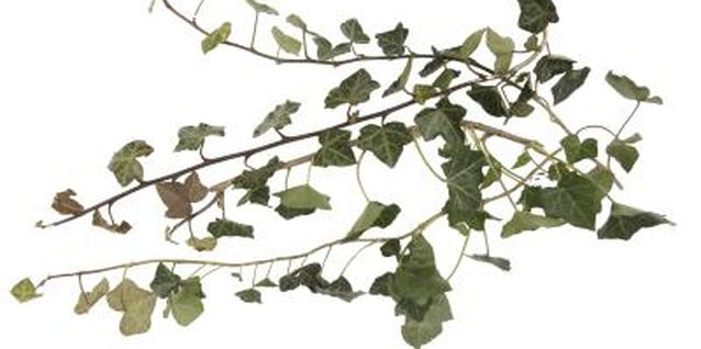How to Transplant a Hedera Helix to a Pot