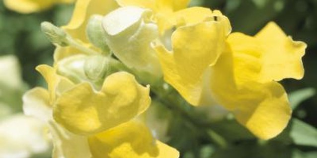 Important Facts on the Snapdragon Flower