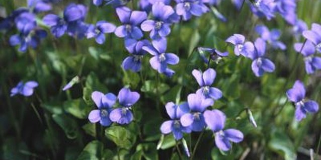 Although violets like rich, moist soil, they can withstand drought.