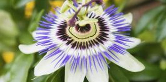 The purple passion flower is the most common, but colors range from red to blue to pure white.