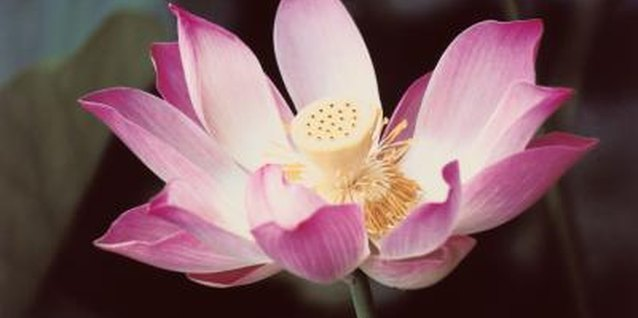 How to Grow Lotus in Water Gardens & Bog Gardens