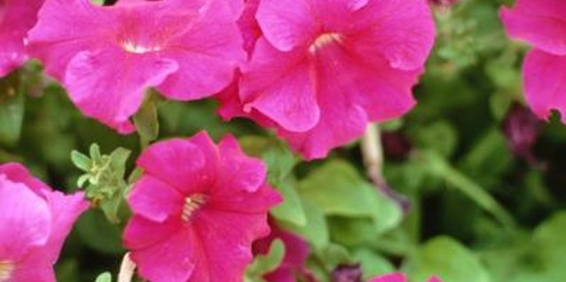 A petunia's bright colors may attract bees.