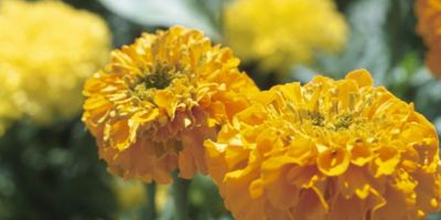 Marigolds are a simple grow-it-yourself project for new gardeners of all ages.