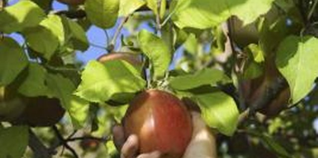 How to Pick Apples From Tall Trees With a Pole Picker