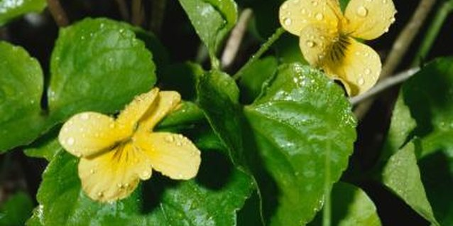 Wild violets often have heart-shaped leaves.