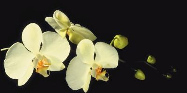 Moth orchids' winged blossoms attract pollinating moths.