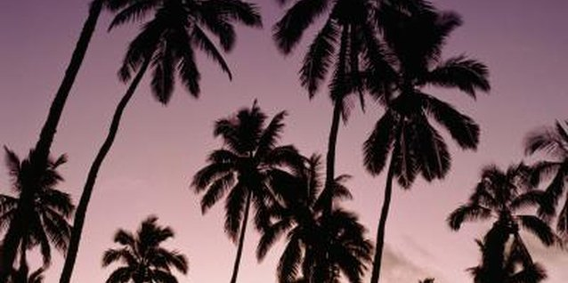 Mexican fan palms show their splendor at sunset.