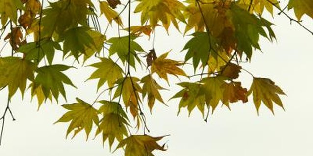 Japanese maple leaf shape varies, depending on the cultivar.