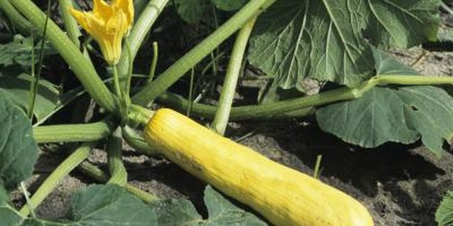 How to Get Rid of Ants & Flies on Squash Plants
