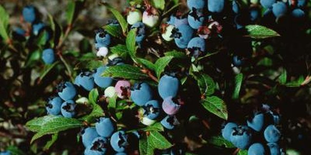 Bright blueberries give your garden color and fruit.