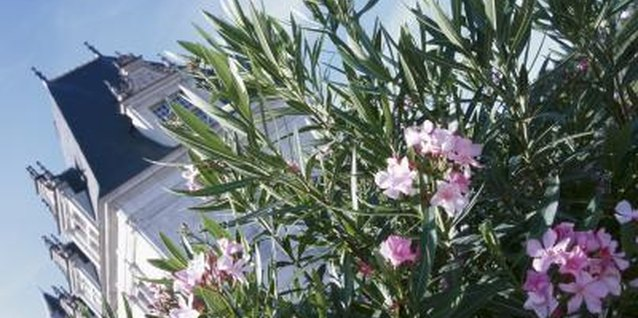 Remove dead or diseased leaves to keep the oleander healthy.