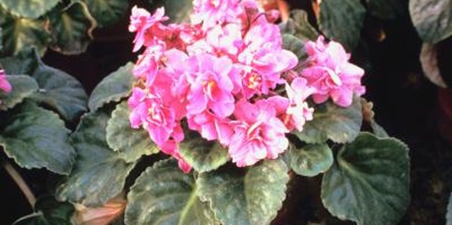 Is Vinegar Good for African Violets?